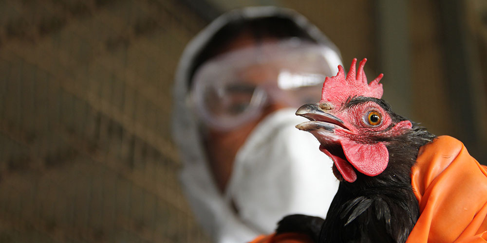 Перший випадок захворювання пташиним грипом зафіксували у Вінниці