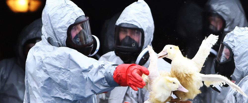 Птичий грипп подбирается к границам Украины