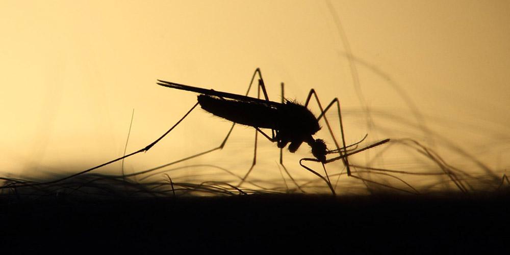 Ученые вывели генномодифицированных комаров