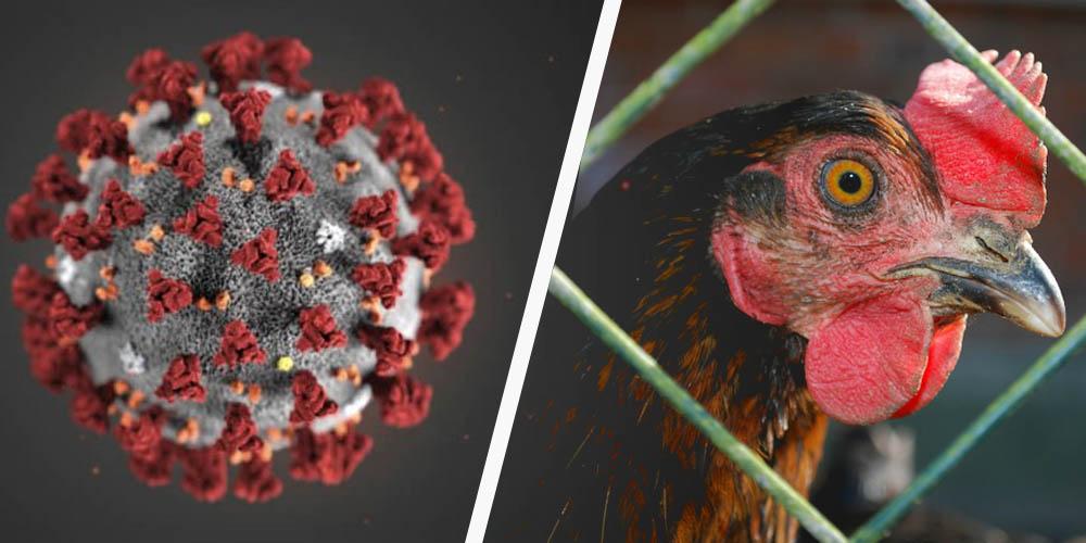 Пташиний грип може стати новою загрозою для людства - ВООЗ