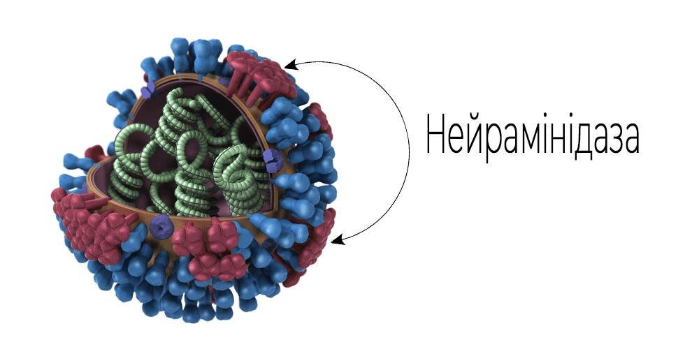 Що таке нейрамінідаза та як вона впливає на ГРВІ та грип