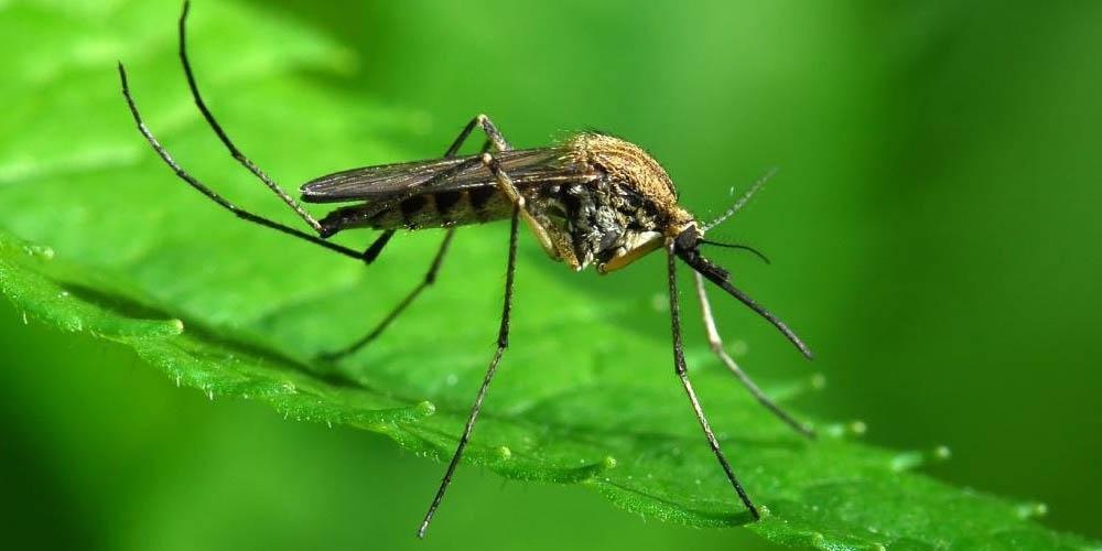 Ученые нашли бактерии, которые убивают комаров