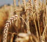 Для аллергиков будут выращивать специальные сорта пшеницы