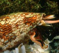 Американские ученые предложили использовать яд морских улиток для лечения людей с диабетом