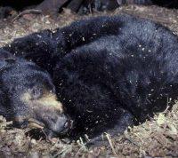 Человека можно погрузить в такую же спячку, какая бывает у медведей