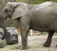 Слонов в Польше будут лечить медицинским канабисом