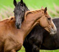 В Коста-Рике COVID-19 хотят лечить антителами лошадей