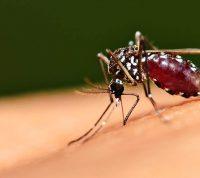Предполагается, что «комариный» вирус создает некоторую защиту от COVID-19
