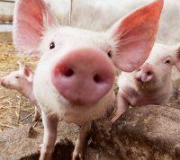 Вирус африканской чумы свиней не опасен для человека