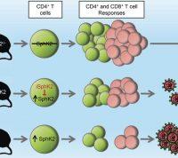 Обнаружен фермент, который отвечает за иммунную реакцию на опасные вирусы
