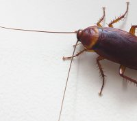 Из тараканов планируют делать новые антибиотики
