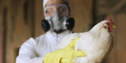 Из-за птичьего гриппа всех птиц в Великобритании закроют в помещениях
