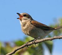 Пение птиц улучшает самочувствие людей