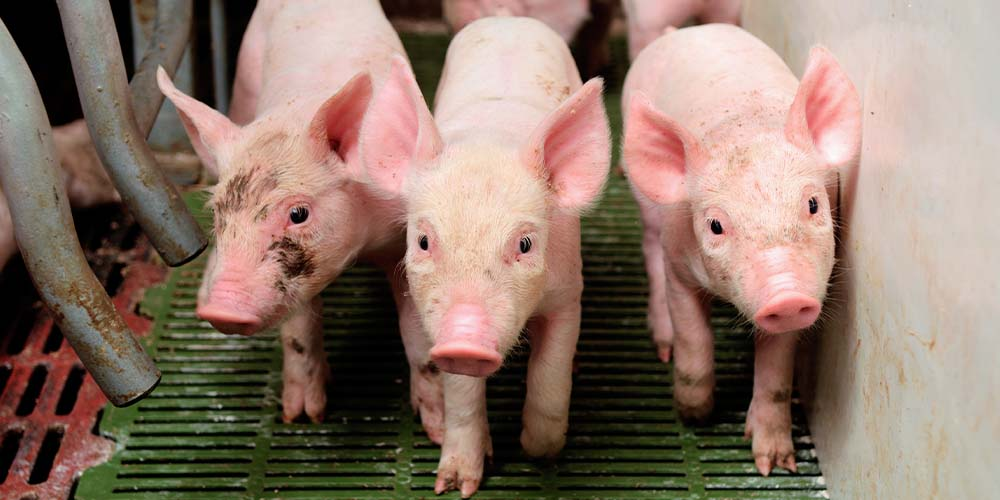 В Україні фіксують випадки свинячого грипу