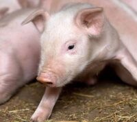 В Украине за неделю зафиксировали семь случаев свиного гриппа