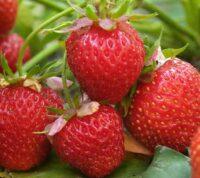 Клубника возглавляет список продуктов с наибольшим количеством пестицидов