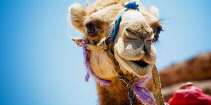 На Ближнем Востоке не утихает МЕRS-CoV, который могут передавать верблюды