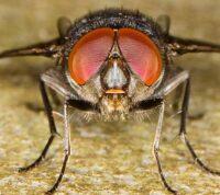 Комнатные мухи могут переносить SARS-CoV-2