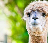 Организм альпаки может вырабатывать антитела к человеческому коронавирусу