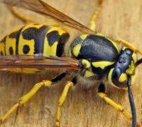 Ученые заверяют, что осы могут приносить пользу для здоровья человека