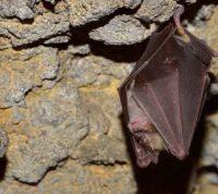 Китайские ученые обнаружили партию новых коронавирусов у летучих мышей