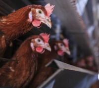 Новая угроза: в Китае человек заразился птичьим гриппом