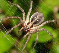 Яд паука может стать средством спасения при сердечном приступе
