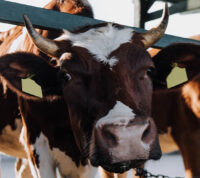 С целью спасения экологии, ученые приучили коров к туалету