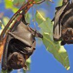 В Лаосе обнаружены летучие мыши с вирусом, похожим на нынешний коронавирус
