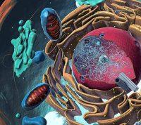 Ученые заявляют о ценности органоидов для изучения коронавирусов