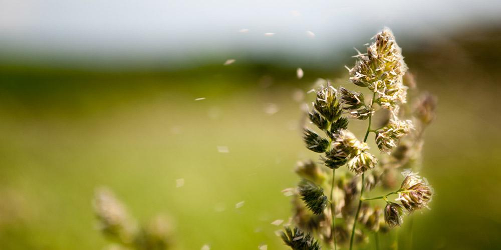 За последние годы увеличилось количество пыльцы в воздухе